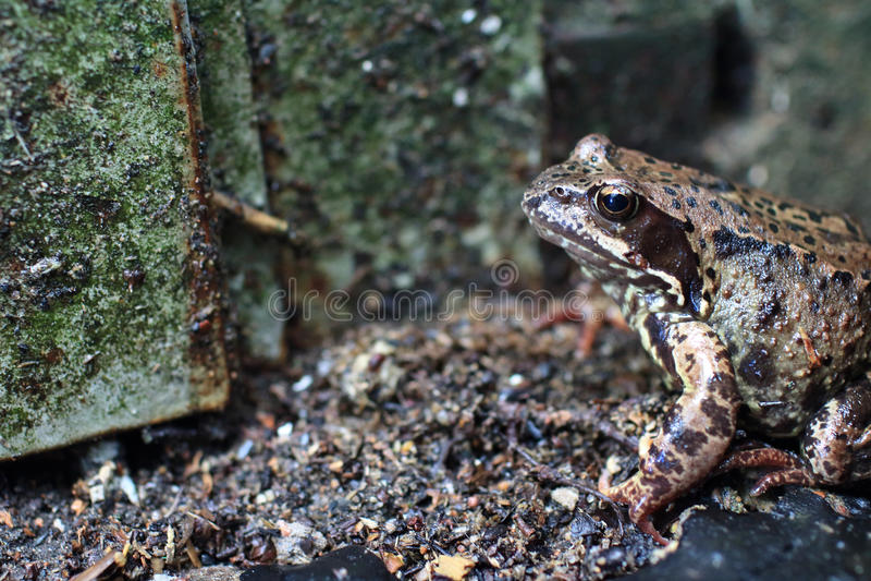 Неброским лягушка запятнанная motley в одичалом стоковые фотографии rf