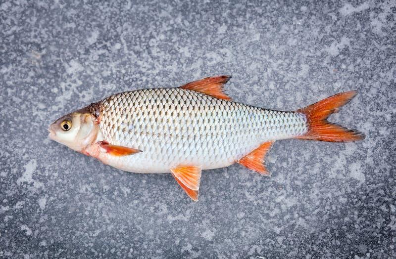 Недавно уловленный лежать свежих рыб стоковая фотография rf