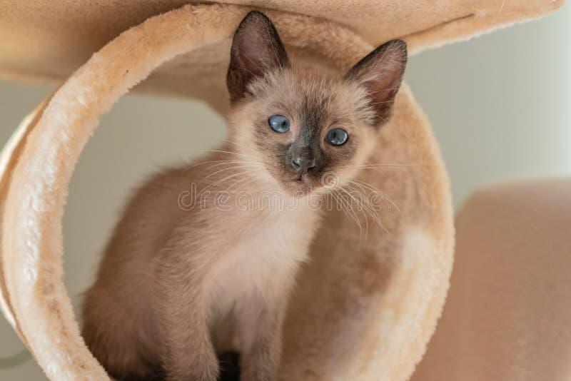 6-недельный сиамский кот Маленький котенок с голубыми глазами на фоне пейджей Понятия, что животные играют в прятки стоковые изображения