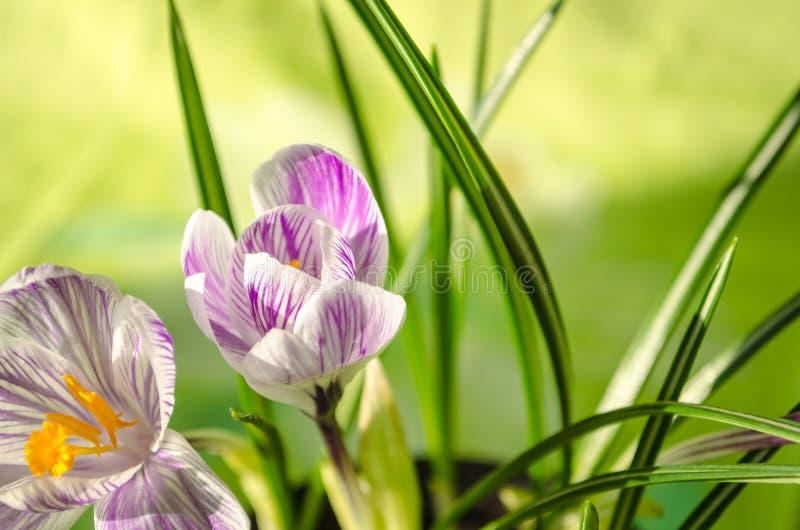 Нежная весна цветет snowdrop на зеленой предпосылке стоковые изображения rf