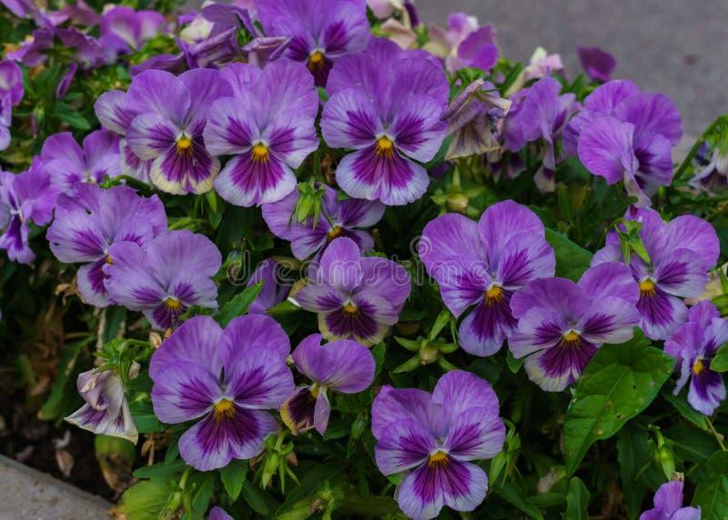 Нежные пурпурные цветки pansies в саде лета стоковое изображение rf