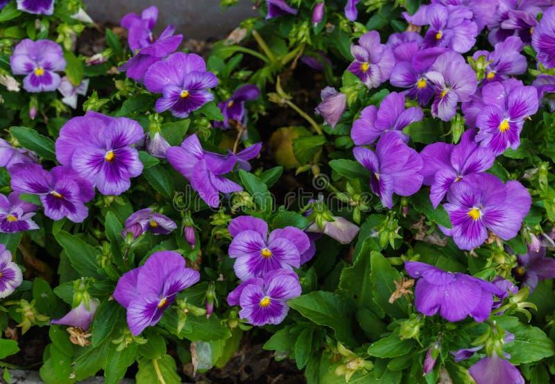 Нежные пурпурные цветки pansies в саде лета стоковое изображение