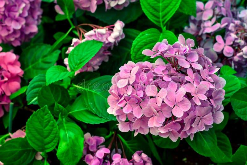 Нежные розовые цветки гортензии стоковая фотография rf