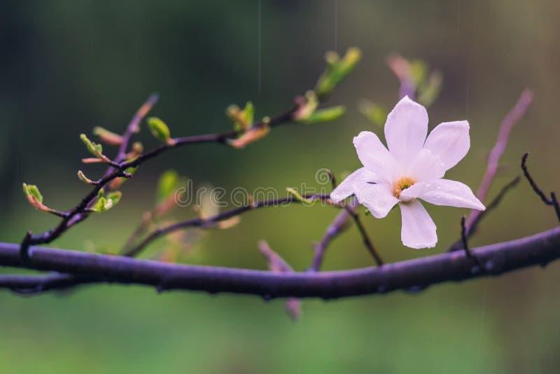 Нежные розовые цветки магнолии под весенним дождем стоковые фото