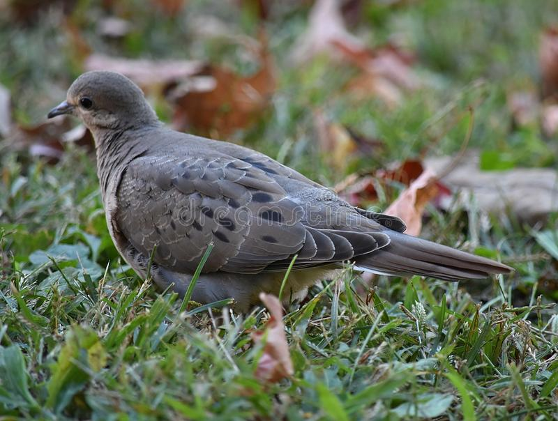 Нежный голубь утра стоковое фото rf