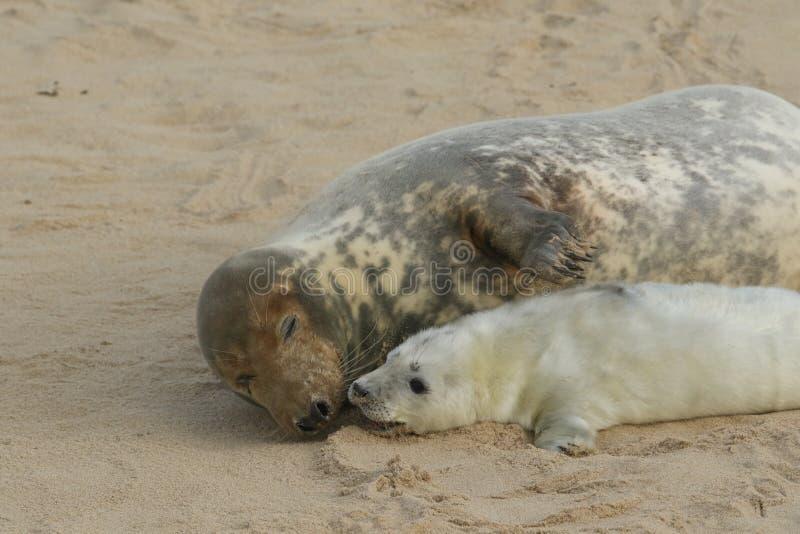 Нежный момент при серая мама grypus Halichoerus уплотнения и ее заново принесенный щенок лежа на пляже стоковые фотографии rf