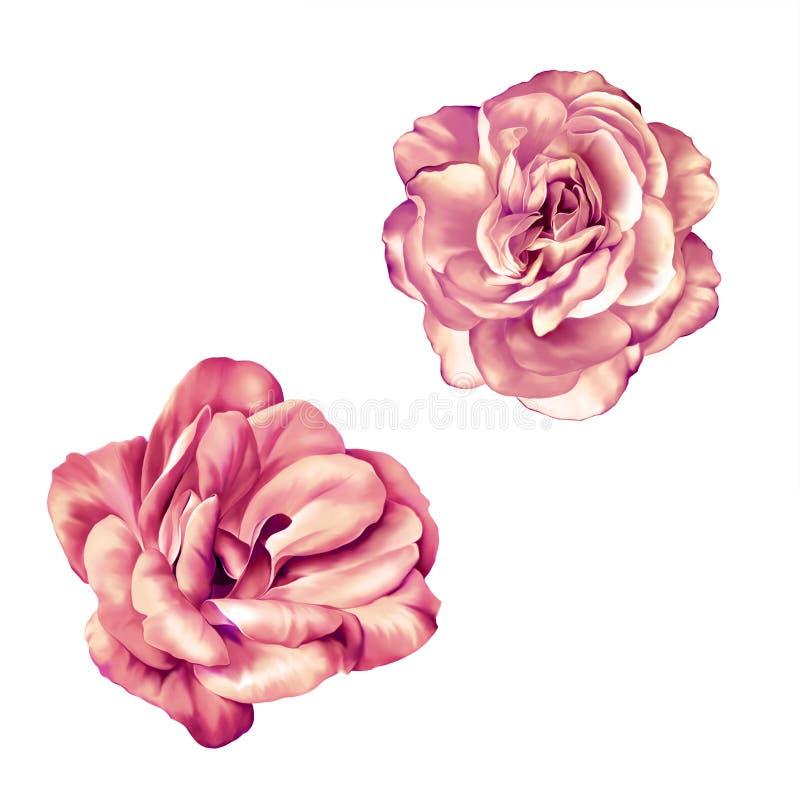 Нежный цветок Розы пастельного пинка изолированный на белизне стоковая фотография