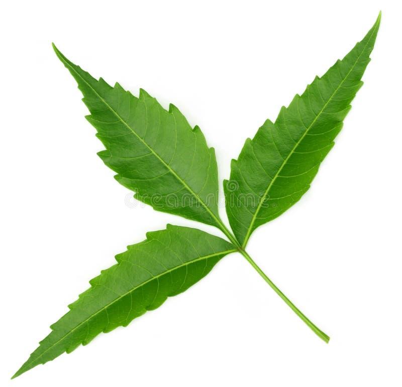 Нежые целебные листья neem стоковые изображения rf