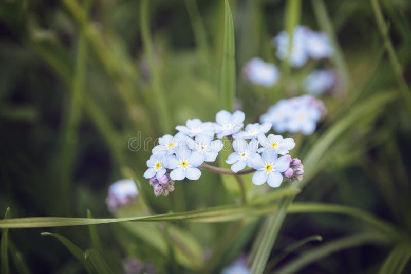 Незабудки закрывают вверх по цветкам стоковое изображение