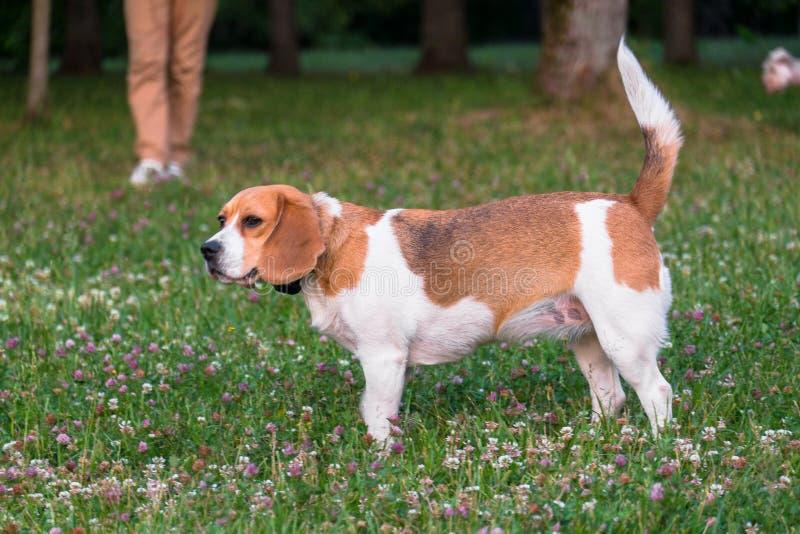 Независимая взрослая собака бигля на прогулке в парке города Гончая бигля британцы, популярные во всем мире стоковые изображения rf