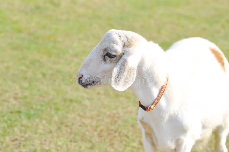 Незнающие овцы или овца на ферме стоковая фотография