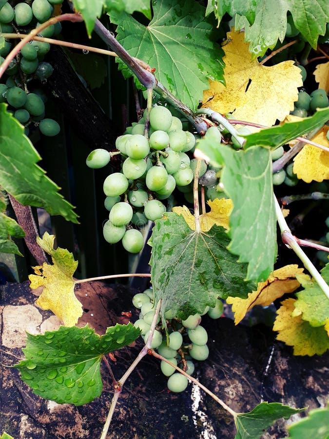 Незрелые белые виноградины стоковое изображение