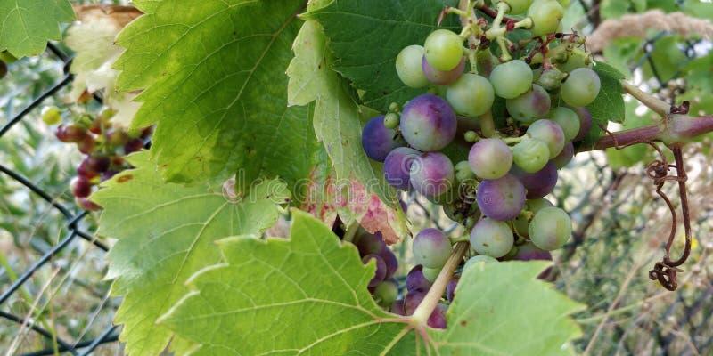 Незрелые виноградины в диком в Голландии стоковая фотография rf