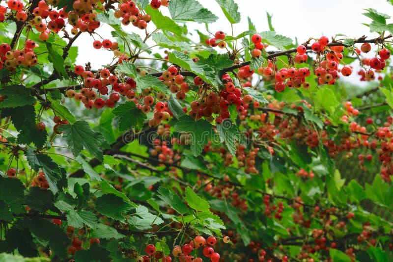 Незрелые красные смородины растя на кусте в сельской местности стоковые фото