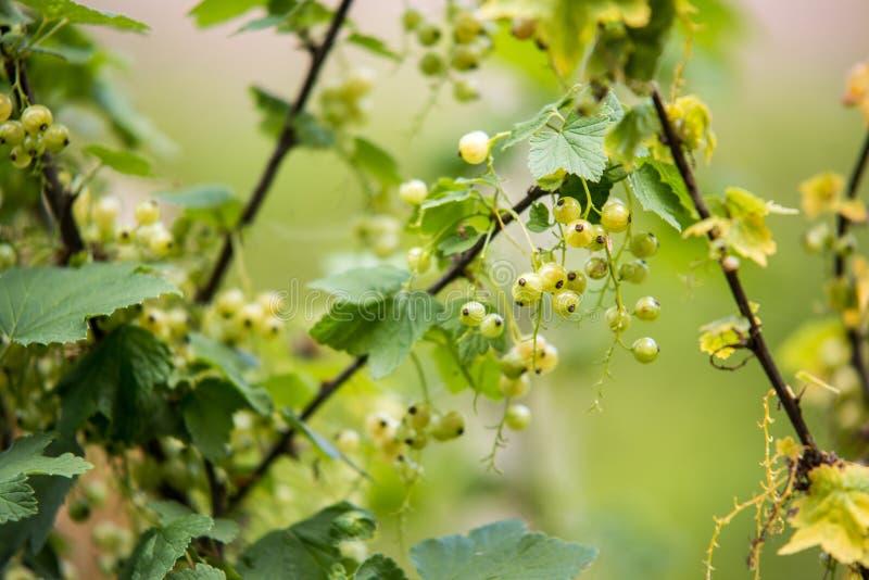 незрелые ягоды красных смородин Предпосылка bokeh весны запачканная нежностью стоковые изображения rf