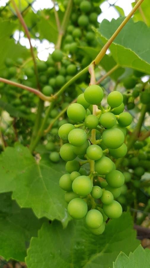 Незрелый пук круглого зеленого крупного плана виноградин стоковое фото