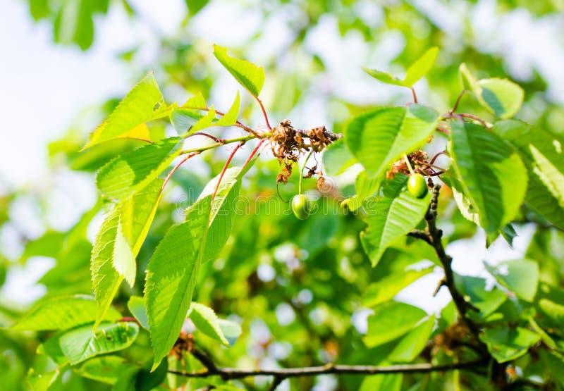 Незрелые вишни на ветви стоковое изображение rf