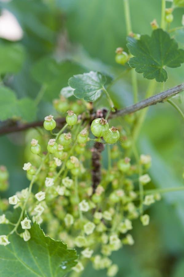 Незрелые зеленые красные смородины стоковая фотография rf