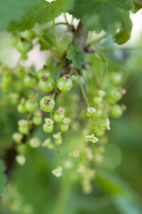 Незрелые зеленые красные смородины стоковые фото