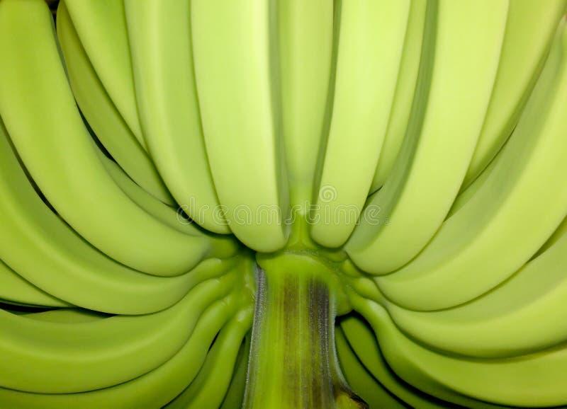 Незрелые unblemished бананы стоковые фото