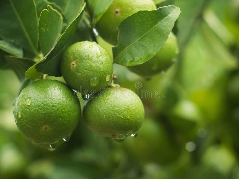 Незрелый лимон с листьями и падением воды стоковые изображения