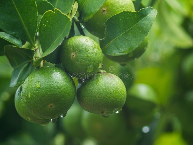 Незрелый лимон с листьями и падением воды стоковые фотографии rf