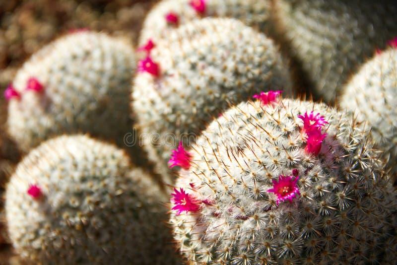 Неимоверный конец-вверх cropping нескольких зацветая кактусов Haageana маммиллярии стоковая фотография rf
