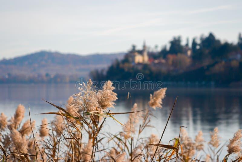 Некоторое озеро reeds дуть в ветре в зиме стоковая фотография rf