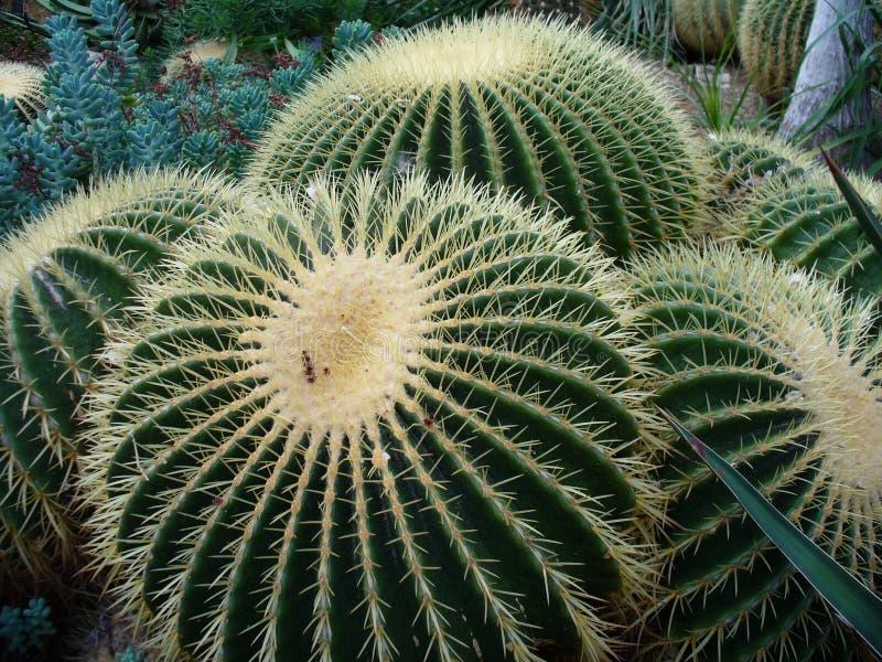 Некоторые гигантские кактусы в пустыне гранд-каньона стоковое изображение rf