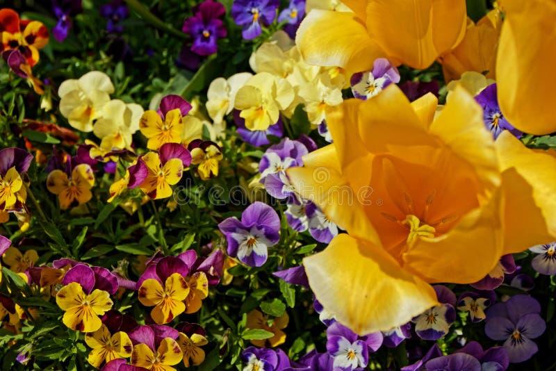 Некоторые красочные цветки тюльпана и альта в весеннем времени стоковое изображение rf