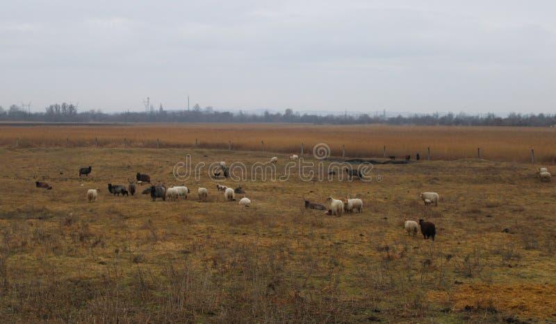 Некоторые овцы на поле стоковые фотографии rf