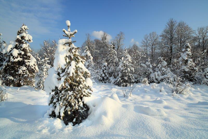 Некоторые рождественские елки стоковые изображения