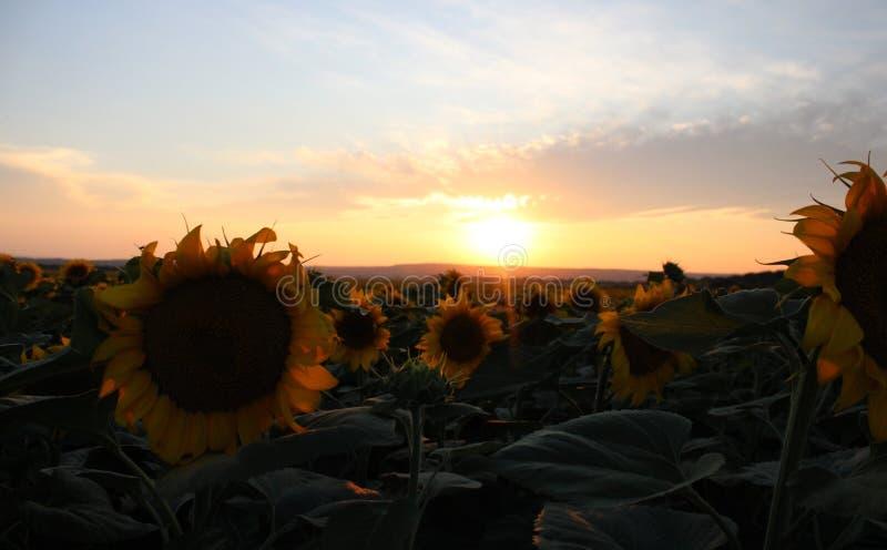 Некоторые солнцецветы на поле стоковые изображения
