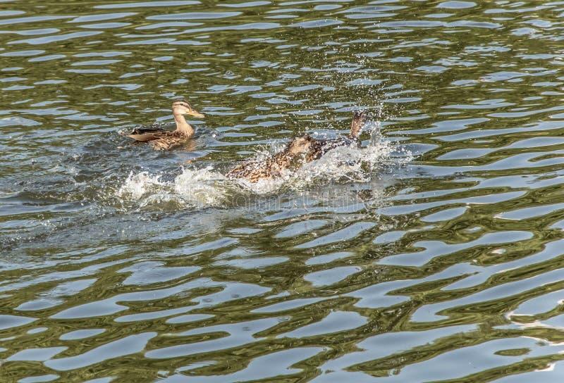 Некоторые утки играют в воде в озере стоковые изображения