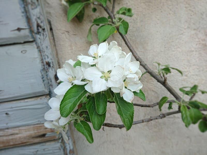некоторые цветения яблони стоковое фото rf