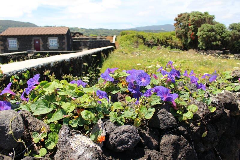 Некоторые цветки пурпура на стене вулканической породы стоковые изображения