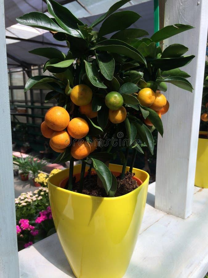 Некоторый вид апельсина нашел в саде стоковое изображение rf