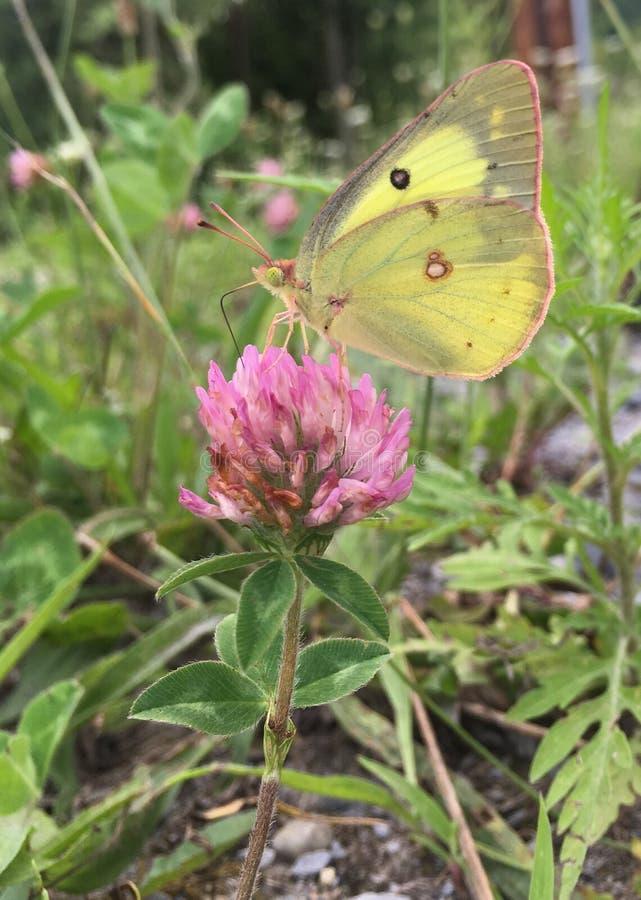 Нектар бабочки белизны капусты выпивая от цветка стоковые фото