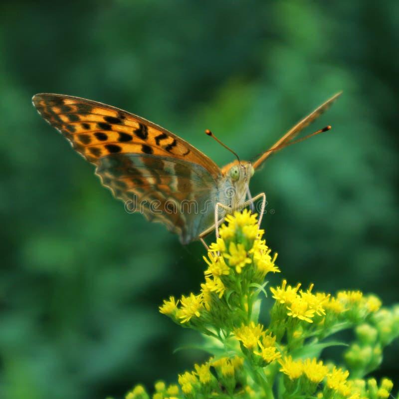 Нектар цветка бабочки выпивая стоковые изображения rf