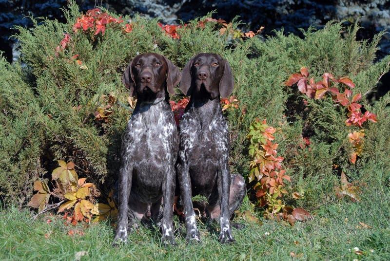 Download Немецкая Коротк-с волосами указывая собака Стоковое Изображение - изображение насчитывающей люди, поле: 33738153