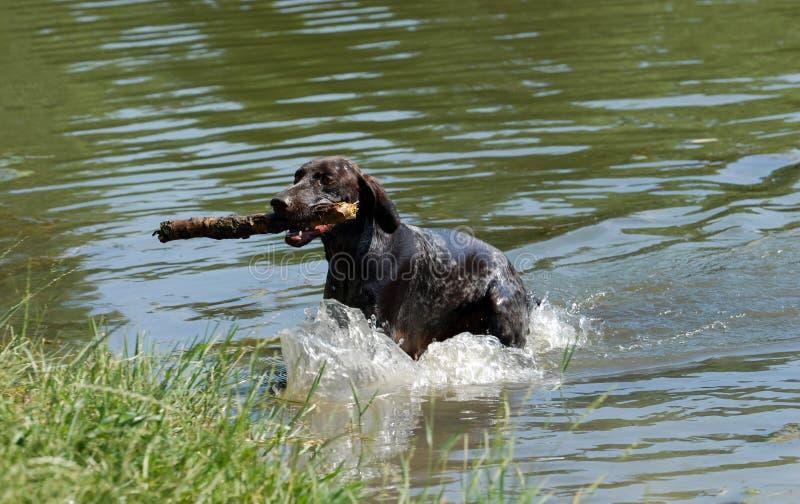 Download Немецкая Коротк-с волосами указывая собака Стоковое Изображение - изображение насчитывающей природа, ветерки: 33738375