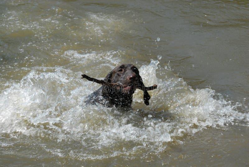 Download Немецкая Коротк-с волосами указывая собака Стоковое Изображение - изображение насчитывающей портрет, отечественно: 33738565