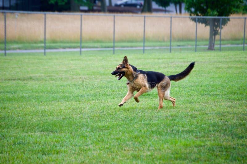 Немецкая овчарка бежать на парке собаки стоковая фотография