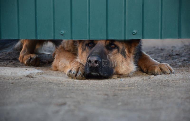 Немецкая овчарка защищая дом стоковое фото rf