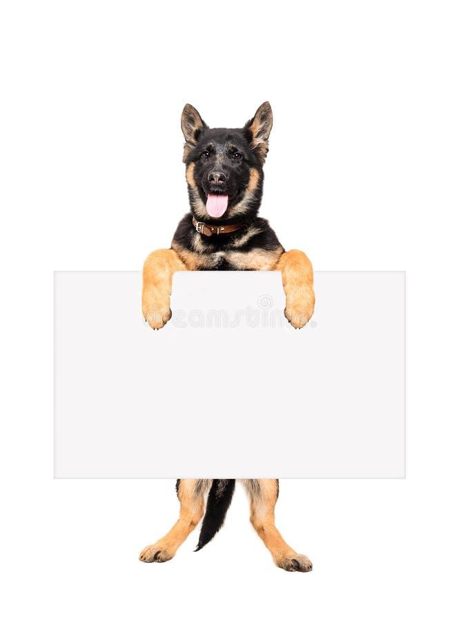 Немецкая овчарка щенка держа знамя стоковое фото