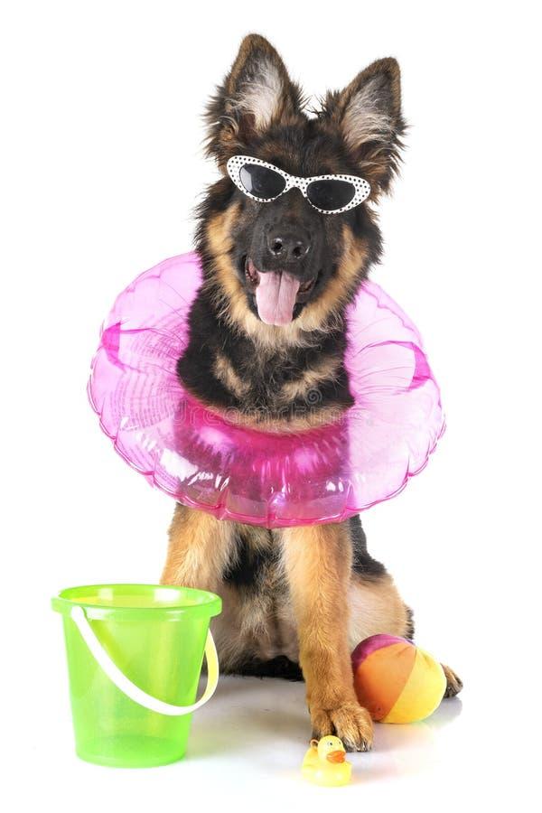 Немецкая овчарка щенка стоковые фото