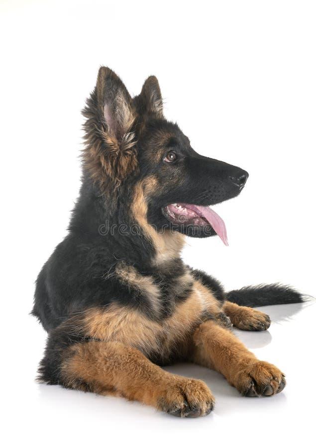 Немецкая овчарка щенка стоковое фото rf