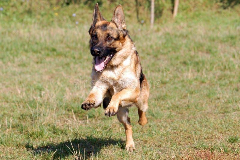 Download Немецкая овчарка стоковое изображение. изображение насчитывающей собаки - 33738331