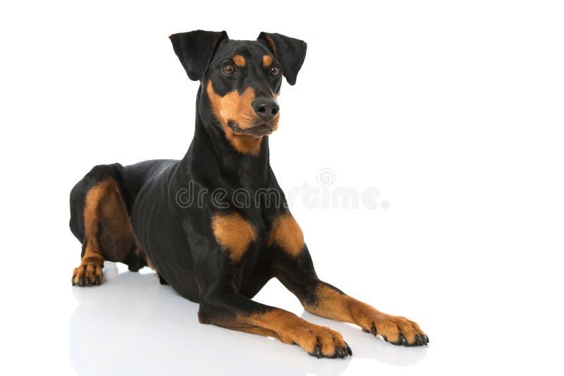Download Немецкая собака pinscher стоковое изображение. изображение насчитывающей молодо - 41663343