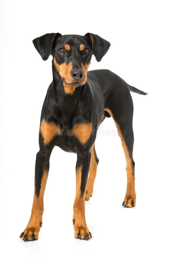 Download Немецкая собака pinscher стоковое фото. изображение насчитывающей стоять - 41663374